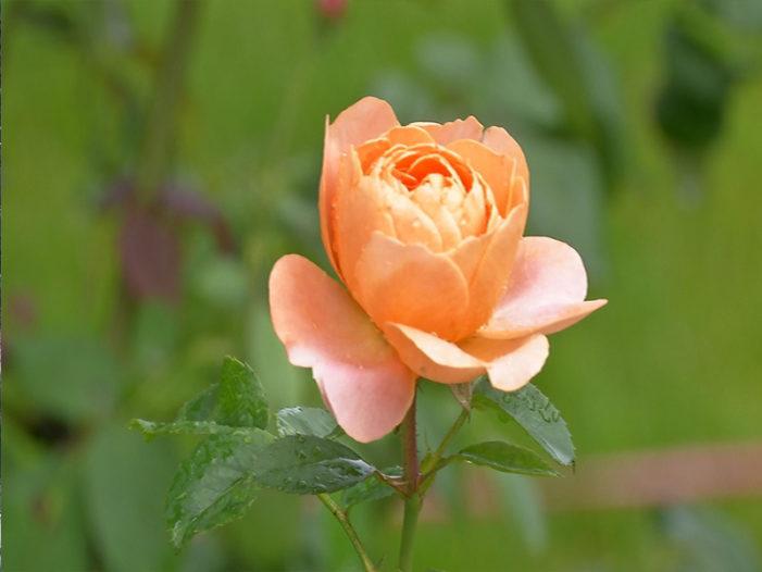 蘿莎玫瑰莊園